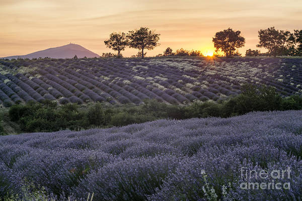 Poster featuring the photograph Lavender Field Provence  by Juergen Held