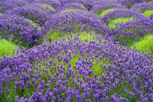 Lavender In Blooming Poster