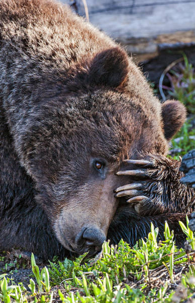 Lazy Bear Poster