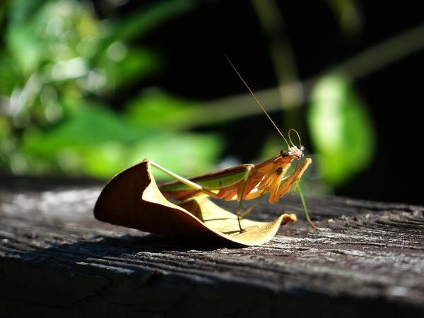 Leafy Praying Mantis Poster