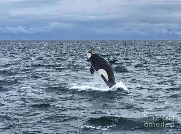 Leaping Orca Poster