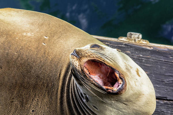 California Sea Lion Yawn Poster