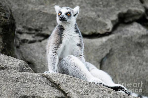 Lemur The Cutie Poster