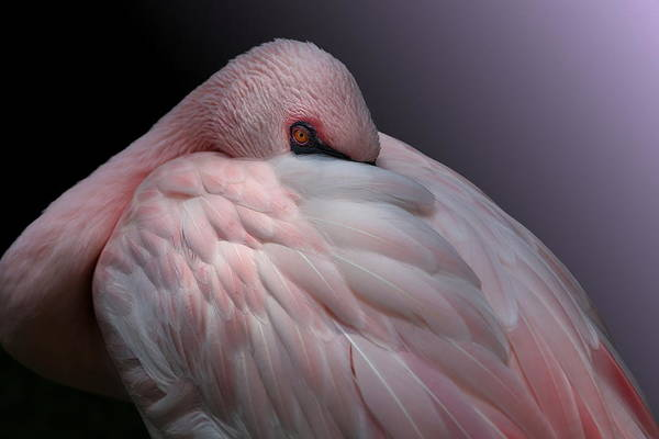 Lesser Flamingo Resting Poster