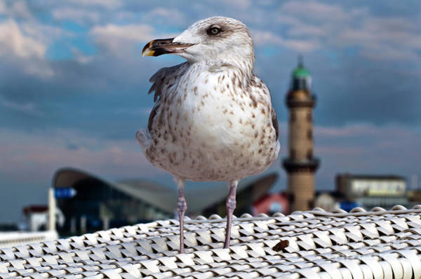 Liberty Of An Pacific Gull Poster