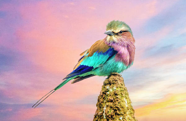 Lilac Breasted Roller At Sunset Poster