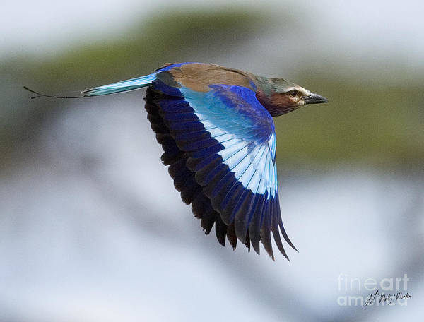 Lilac-breasted Roller-signed Poster