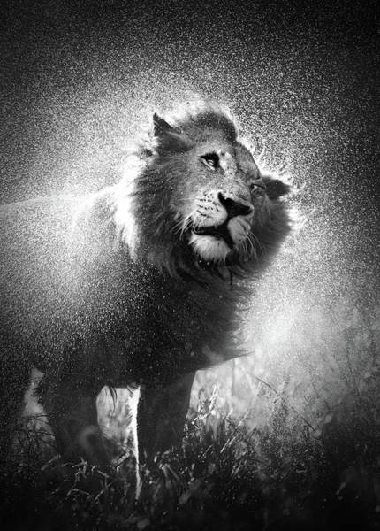 Lion Shaking Off Water Poster