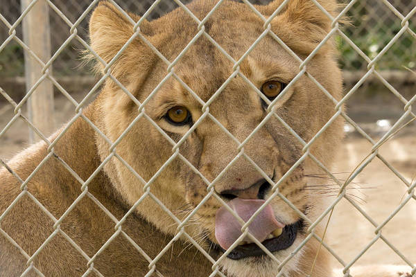 Lioness Licks Poster