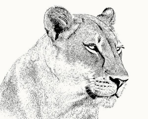 Lioness Portrait Poster