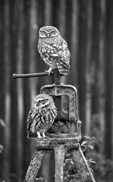 Little Owls Black And White Poster
