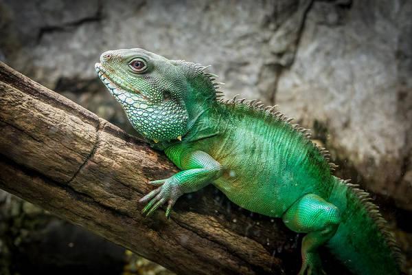 Lizard On Branch Poster
