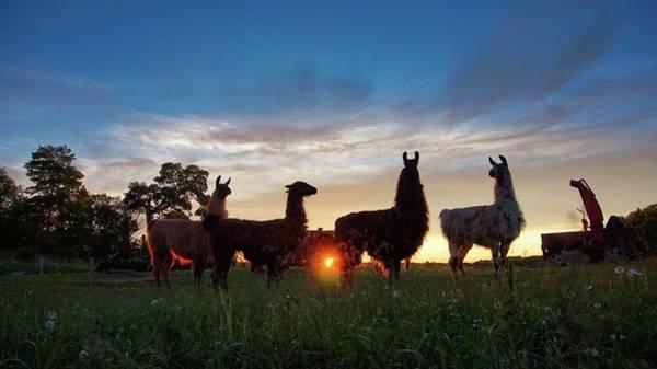 Llamas At Sunset Poster