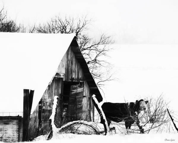 Lone Cow In Snowstorm Poster