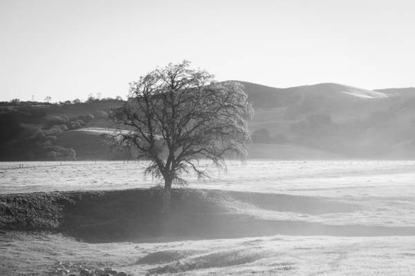 Lone Oak, Clearing Fog, San Andreas Rift Valley Poster