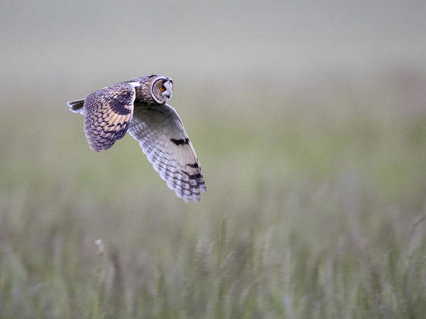 Long Eared Owl Hunting At Dusk Poster