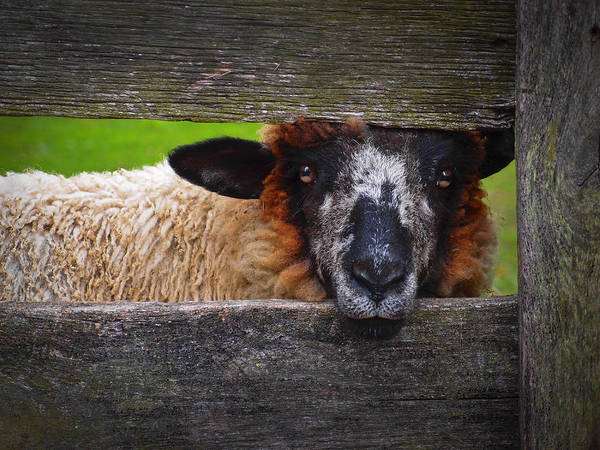 Poster featuring the photograph Lookin At Ewe by Skip Hunt