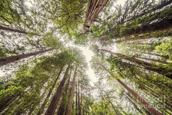 Looking Up At The Redwood Canopy - Founders Grove Muir Woods National Monument - Marin County  Poster
