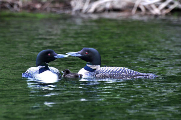 Loving Loon Parents Poster