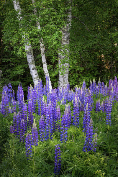 Lupine And Birch Tree Poster