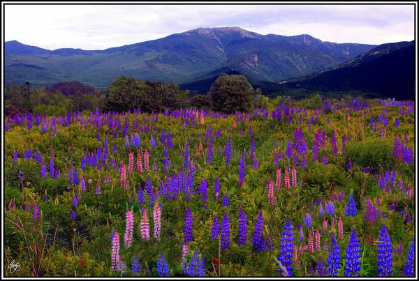 Lupine Field In Franconia Range Poster