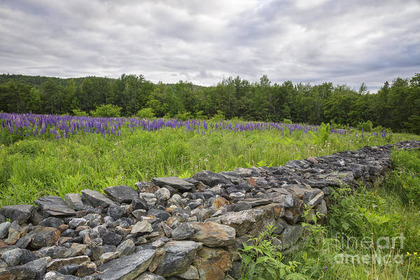 Lupine Field - Sugar Hill New Hampshire  Poster