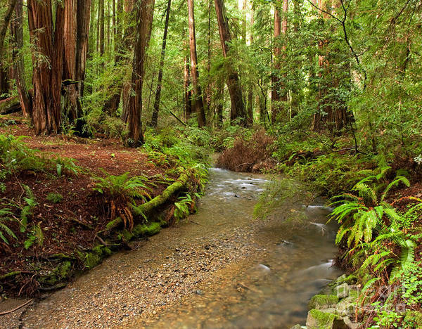 Lush Redwood Forest Poster