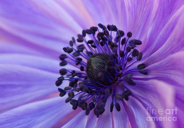 Macro Of Lavender Purple Anemone Poster