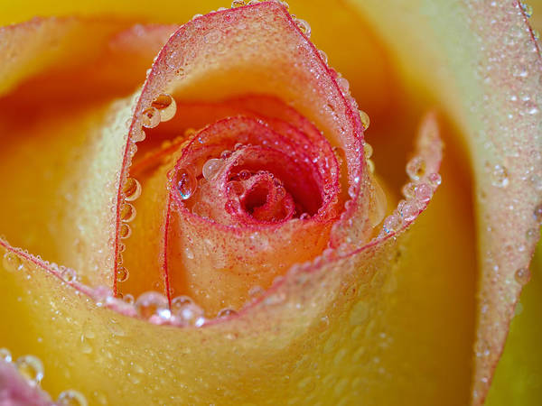 Macro Yellow And Red Rose Poster