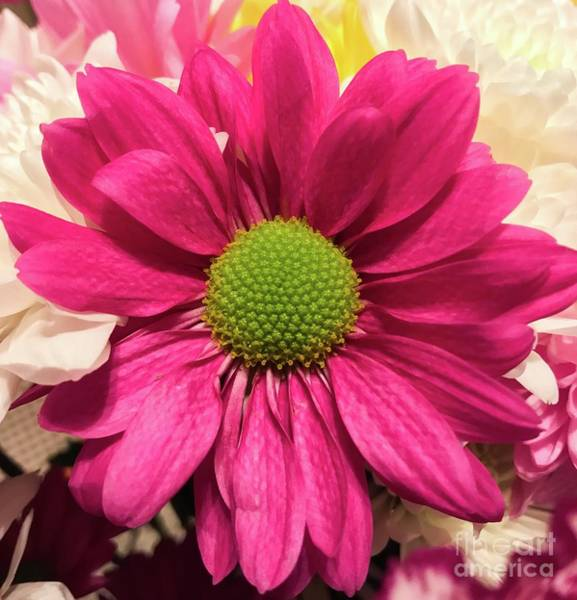 Magenta Chrysanthemum Poster