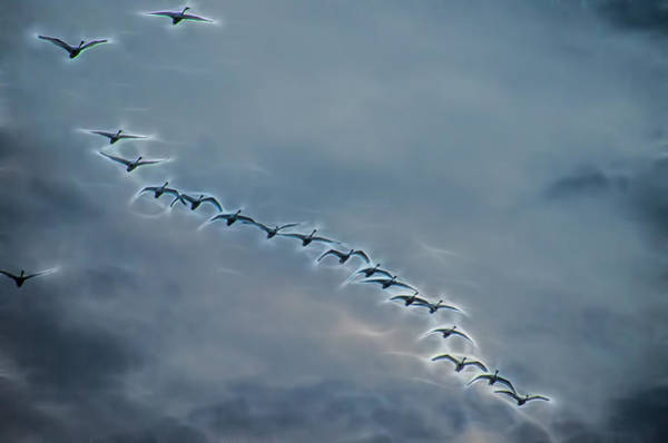 Magical Tundra Swan Fly-over Poster
