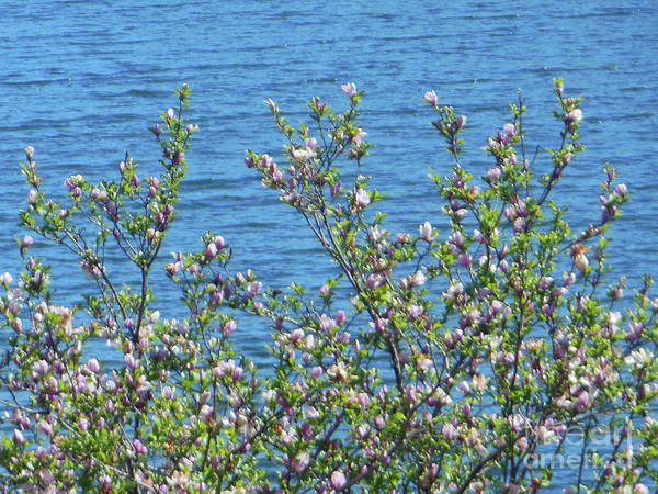Magnolia Flowering Tree Blue Water Poster