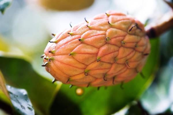 Magnolia Tree Bud Poster