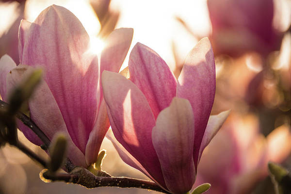 Magnolias At Sunset Poster