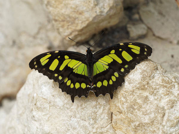 Poster featuring the photograph Malachite Butterfly - Siproeta Stelenes by Paul Gulliver