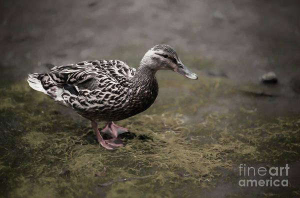 Malard,duckling Poster