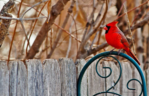 Poster featuring the photograph Male Cardinal by Edward Peterson