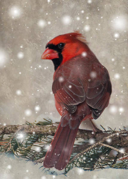 Male Cardinal In Snow #1 Poster
