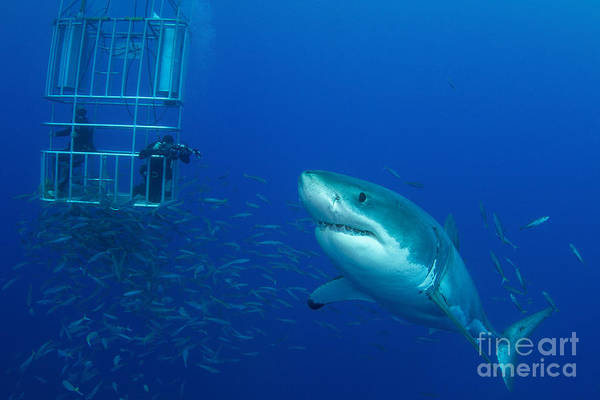 Male Great White Shark And Divers Poster