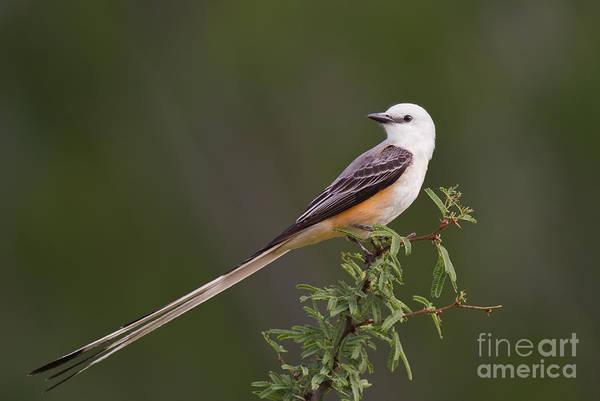 Male Scissor-tail Flycatcher Tyrannus Forficatus Wild Texas Poster