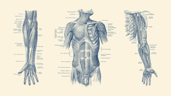 Male Upper Body Muscular System - Multi-view - Vintage Anatomy Poster