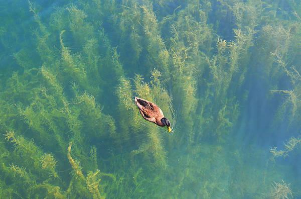 Mallard Over Seaweed Poster