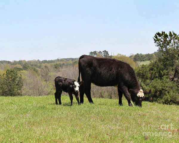 Mama Cow And Calf In Texas Pasture Poster
