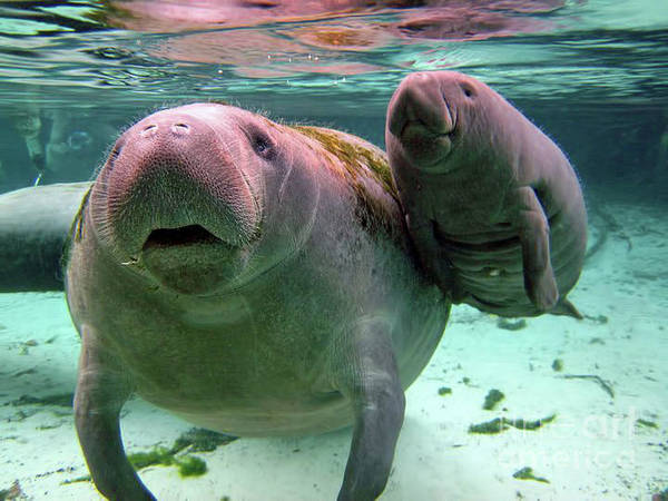 Manatee Mom And Calf Poster