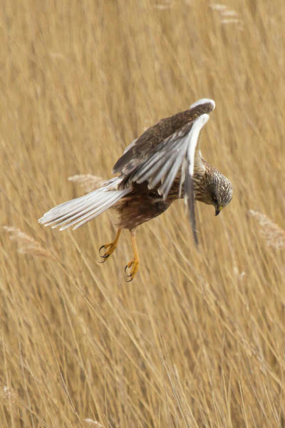 Marsh Harrier Hunting Poster