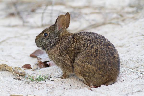 Marsh Rabbit On Dune Poster