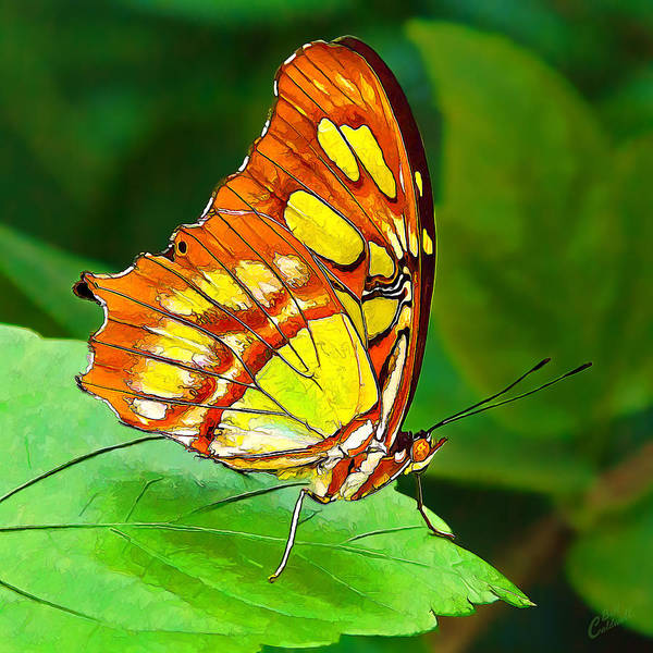 Marvelous Malachite Butterfly Poster