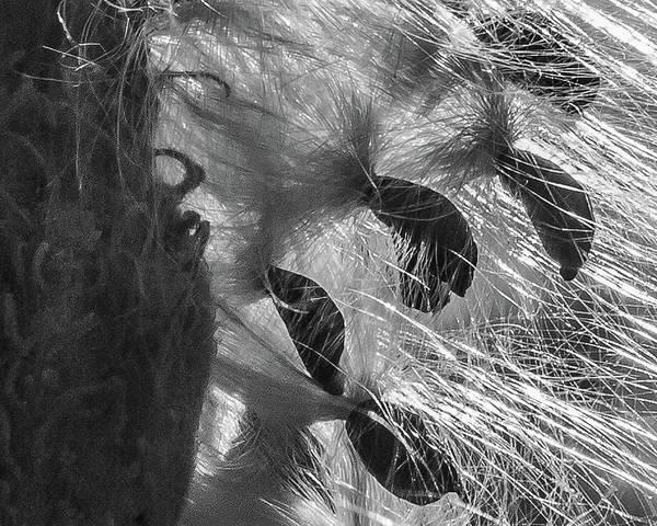 Milkweed Sunburst In Black And White Poster