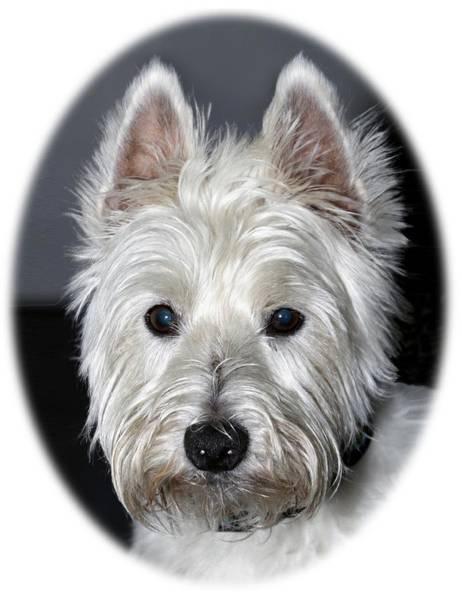 Mischievous Westie Dog Poster
