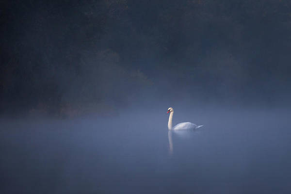 Misty River Swan Poster
